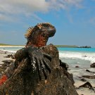 Marine Iguana Galapagos Islands Lizard Animal Nature 32x24 Wall Print POSTER