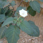 Datura, Moon Flower, Angel Trumpet,- White Color 200 seeds!!