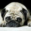 Cute Pug Dog Big Eyes 32x24 Print POSTER