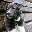 Faithful Dog Collar House 32x24 Print POSTER