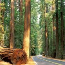Road Forest Trees Timber Nature 32x24 Print POSTER