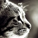 Close Up Cat Photo BW Animal 32x24 Print POSTER