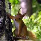Funny Squirrel Cute Birch Animal 32x24 Print Poster
