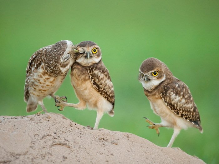 Funny Owlets Small Owl Birds Animal 32x24 Print Poster