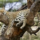 Leopard Wild Cat Animal 32x24 Print Poster