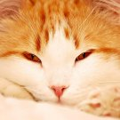 Ginger Cat Animal 32x24 Print Poster