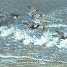 Working the Coast - Peregrine Falcon Item PP146