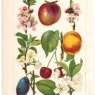 """""""Fruits and Their Blossoms"""" Color Plate,  BP14"""