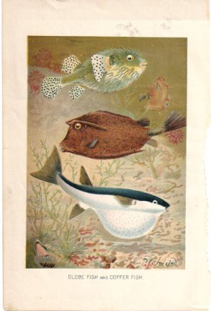 �Globe Fish and Coffer Fish� artist P. J. Smit Color Plate,  BP19