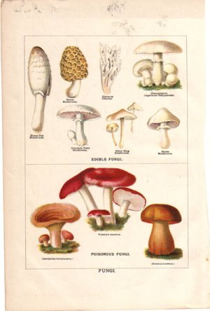 �Edible Fungi� and �Poisonous Fungi� Color Plate,  BP20