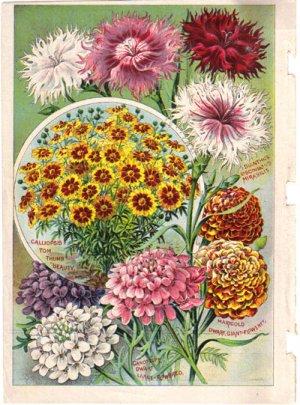 Floral Color Plate, John Lewis Childs,  BP25