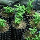 Frankincense plant, 3 viable seeds, Boswellia sacra (RARE)