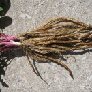 Skirret 15+ VIABLE seeds, new root vegetable (sium sisarium)