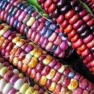 Paint Mountain Corn - Cold hardy fantastic heirloom! 20+ seeds (ORGANIC)