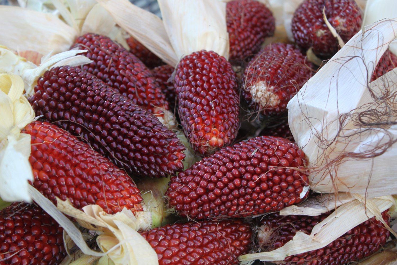 Strawberry popcorn seeds (corn heirloom) 10 seeds