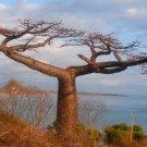 Suarez Baobab RARE seeds (Adansonia suarezensis)