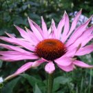 Echinacea purpurea 10+ seeds (Purple coneflower)