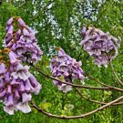 Sapphire dragon tree 20 seeds (Paulownia Kawakamii)  endangered tree