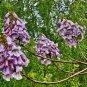 Sapphire dragon tree 20 seeds (Paulownia Kawakamii)  endangered tree