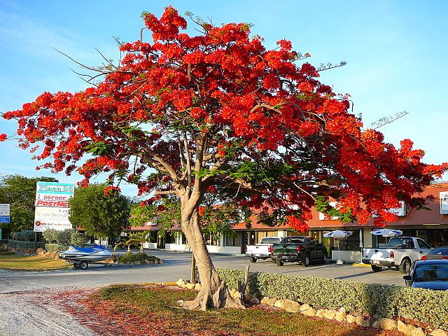Flamboyant tree or Flame tree 6 seeds (Delonix regia or Royal Poinciana)