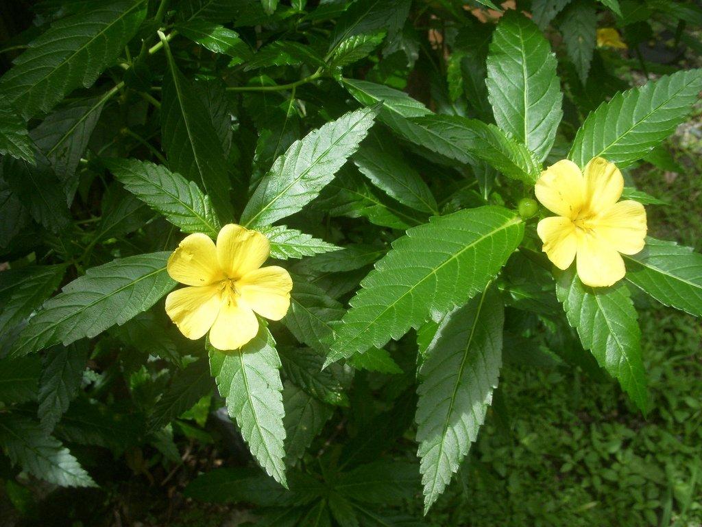 Damiana 3 seeds (Turnera diffusa)