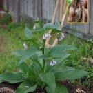Comfrey rhizome, to plant (Symphytum officinale)