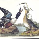 POSTCARD - Duck - NORTHERN SHOVELER - John James Audubon Birds of America