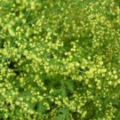 800 seeds Sweet Annie Wormwood (Artemesia Annua) Organic