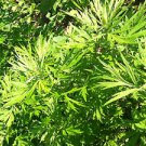 500 Mugwort Seeds (Artemisia Vulgaris)