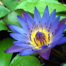 100 Blue Lotus Sacred Lily (Nymphaea Caerulea) Seeds Organic