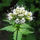 250 Valerian Heliotrope Heal All Herb (Valeriana Officinalis) Seeds