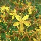 50 St. Johns Wort Seeds (Hypericum Perforatum)