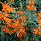 1000-10,000 Klip Dagga/Lions Tail (Leonotis Nepetifolia) Seeds