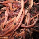 SUPER Red Wiggler Worms (Composting Worms) 250 - 5000 count