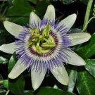Passiflora Caerulea Passionflower Seeds 10 Seeds