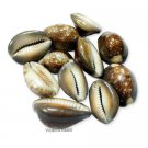 Cowrie shell Brown Online Store in USA/UK/Europe