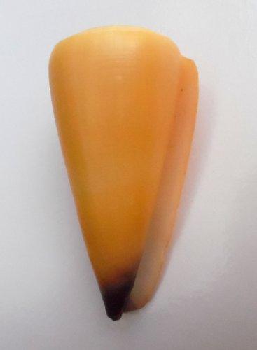Conus virgo 84.1 mm #0178