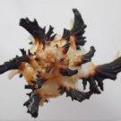 Hexaplex cichoreum 115 mm