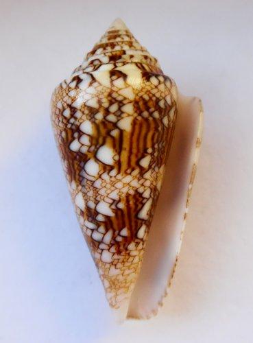 Conus Scottjordani, 42.6 mm