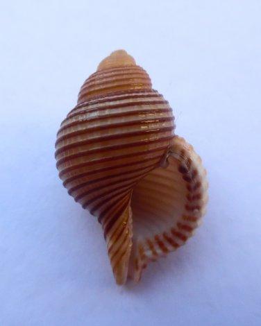 Gelagna succincta, 36.1 mm