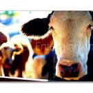 Cow Face Photo Wall Picture 8x12 Color Art Print Farm Dairy Animals New Original
