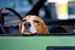 Cute Beagle Dog Posing in Car Photo 8X10 Color Matte Animals New Original