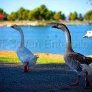 Beautiful Ducks Geese Birds 8x12 Photo Wall Art Print Color Original Picture USA
