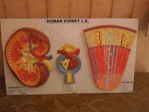 Human Kidney Glomeruli Nephron Dissection Anatomy Model