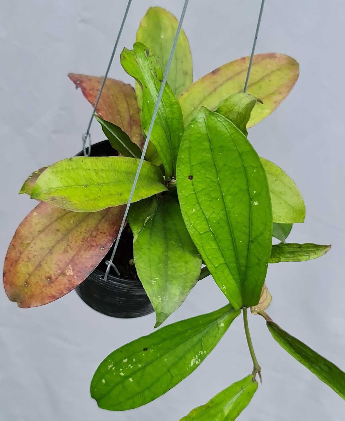 Hoya erythrina bacho