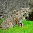 BOBCAT AT SUNOL PARK NEAR LIVERMORE, CALIFORNIA - 8X10 NATURE PHOTO (EE-151)