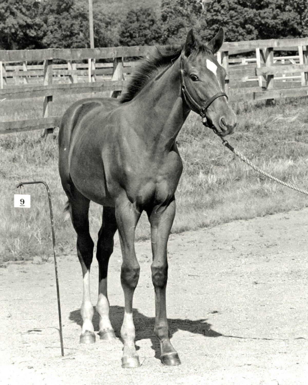 SECRETARIAT AS A FOAL LEGENDARY TRIPLE CROWN WINNER - 8X10 SPORTS PHOTO (AZ130)