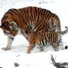 AMUR TIGER WITH CUB IN THE SNOW AT THE BUFFALO ZOO - 8X10 PHOTO (AA-024)