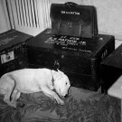 "GEORGE S PATTON DOG ""WILLIE"" FEW DAYS AFTER GENERALS DEATH - 8X10 PHOTO (DD-191)"