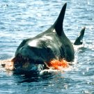 """""""JAWS"""" GREAT WHITE SHARK - 8X10 PUBLICITY PHOTO (ZY-488)"""